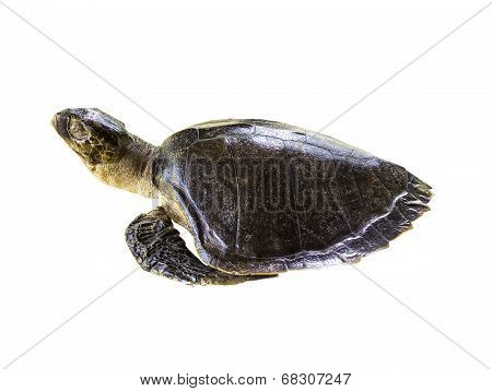 Leatherback Sea Turtle On White