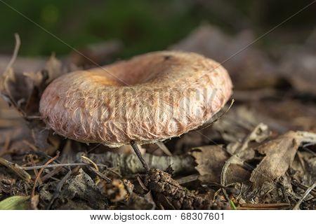 Lactarius Torminosus Mushroom Closeup