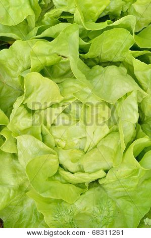 Close-up Of Green, Fresh Lettuce.