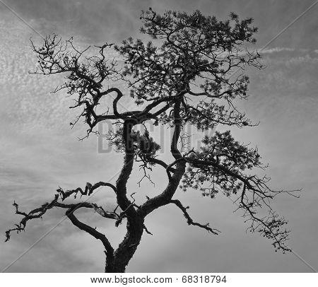Stunted Pine