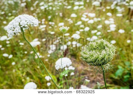 Flowers And Seed Pods Of Wild Carrot Plants