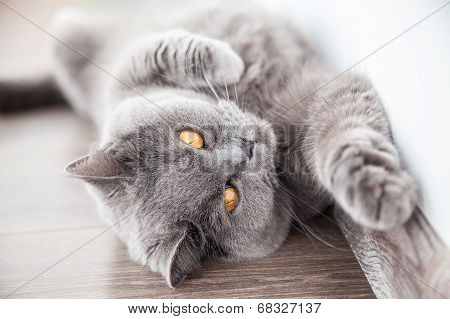 Cat Stretching Its Foreleg