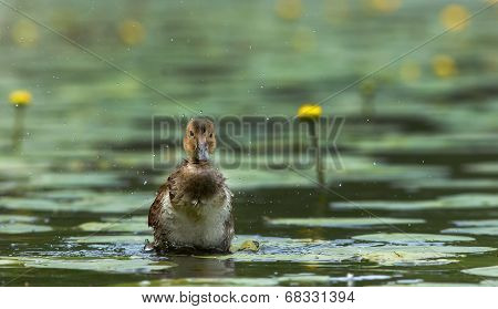 Young Widgeon Splashing Water