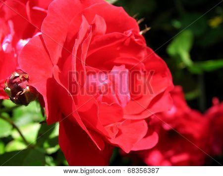 Bud of rosehip