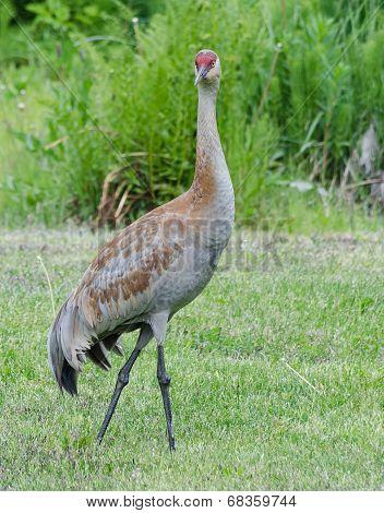 Lesser Sandhill Crane 2