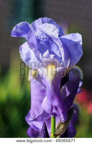 Light violet iris