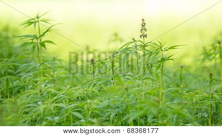 Young cannabis plants, marijuana, close-up.