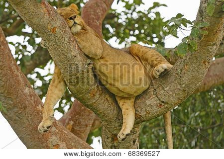 Young Male Lion Resting In A Tree After A Big Meal