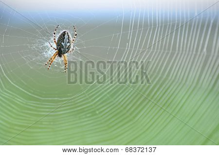 Diadem spider in the web, coloured background
