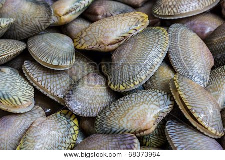 Closeup Fresh Raw Surf Clam Background.