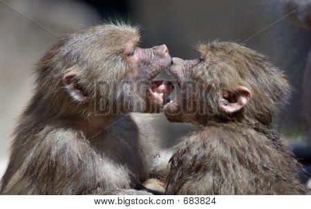 Kissing Monkeys