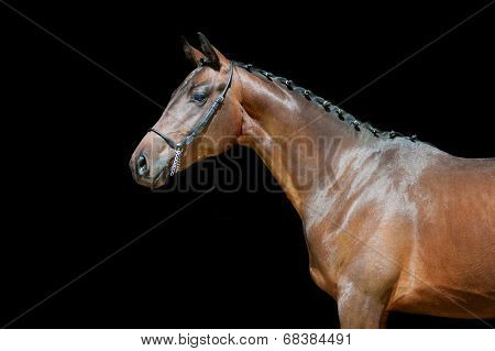 Portrait of a young bay horse sports in the bridle with braided mane on a black background