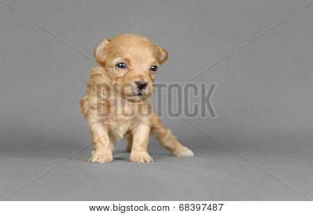 Cute Pure Breed Bichon Havenese Puppy