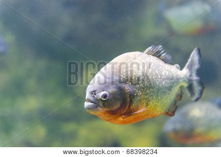 Dangerous Piranha Fish In Water Closeup