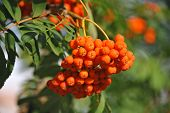 pic of ash-tree  - Rowan berries Mountain ash  - JPG