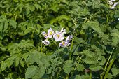 pic of solanum tuberosum  - Green potato plant in field close up - JPG