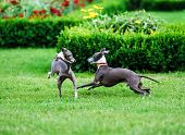 pic of greyhounds  - Italian Greyhound playing in countryside park Poland - JPG