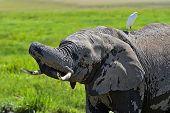 picture of kilimanjaro  - Kilimanjaro elephants in Amboseli National Park Kenya - JPG