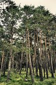 stock photo of pinus  - Pine forest of the variety  - JPG