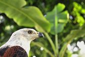 picture of fish-eagle  - The African Fish Eagle  - JPG