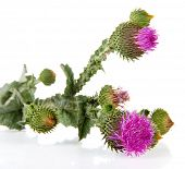 foto of scottish thistle  - Thistle flowers isolated on white - JPG