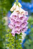 image of digitalis  - Red foxglove latin name Digitalis purpurea - JPG