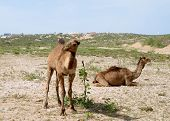 picture of hump day  - Two young camels resting in Morocco on a sunny day - JPG