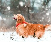 pic of freezing temperatures  - friendly active retriever walk at the snow - JPG