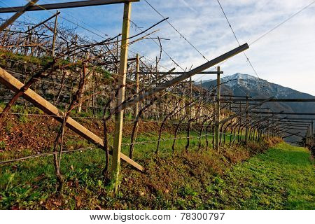Vineyards of Trentino, Italy, at sunset