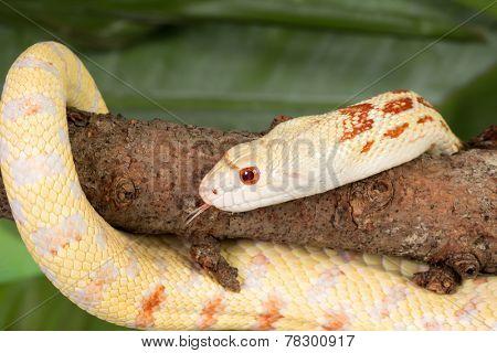 Yellow albino bullsnake curved around a tree branch