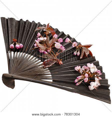 Fresh Flower Sakura in a Black Vintage Japanese Paper Fan Isolated on white background