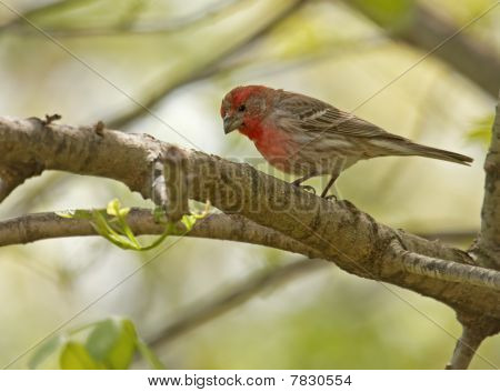 House Finch.carpodacus Mexicanus