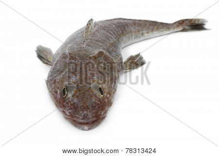 Australian fresh raw flathead fish on white background