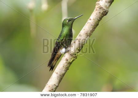 Ecuadorian Hummingbird On A Branch