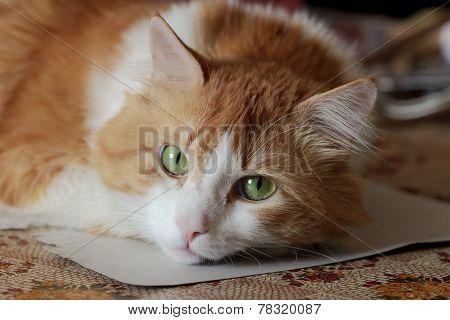 Beauty Orange Orange White Cat In Dreams