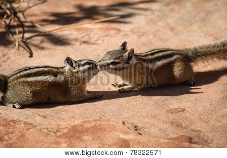 Two chipmunks in free nature