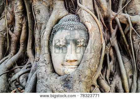 Detail Buddha head in tree roots