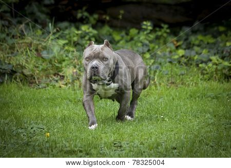 Squat blue nose pitbull posing in a field
