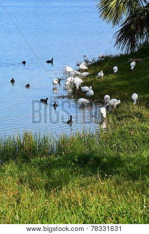 Ibis and Ducks