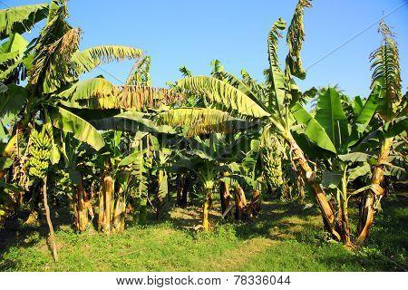 Banana tree plantation in sun - egypt