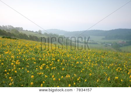Yellow Buttercups At Dawn