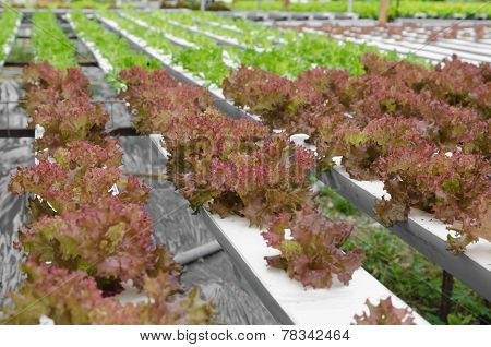 Red Coral Vegetable