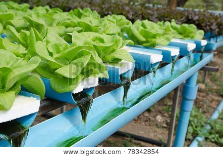 Butter Head Vegetable In Hydroponic Farm