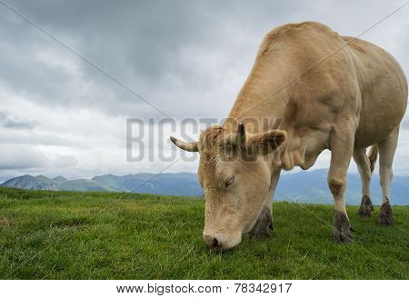 Cow in mountaints with dramatic sky and green grass