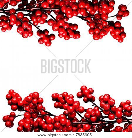european holly isolated on white background