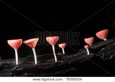 pink champagne mushroom
