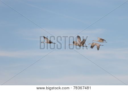 Sandhill cranes flying at Bosque del Apache National Wildlife Refuge in San Antonio New Mexico