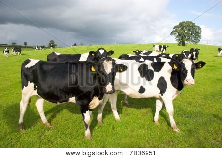 Group Of Black And White Cows In Pasture