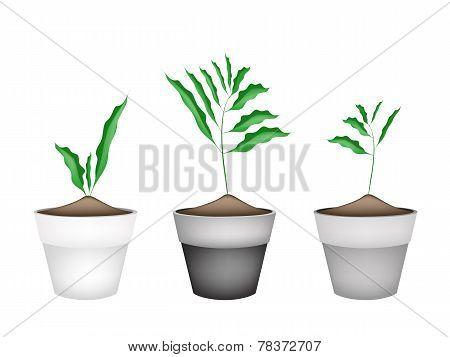 Fresh Cardamon Plant in Ceramic Flower Pots