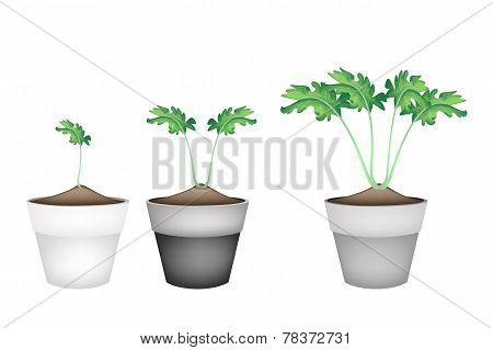 Three Fresh Kohlrabi in Ceramic Flower Pots
